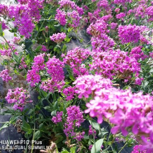 酒泉肃州区高雪伦种子