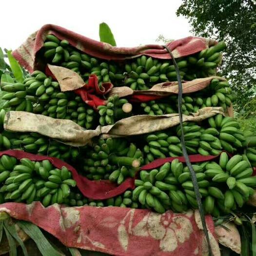 南寧西鄉塘區 自家種植小米蕉,9斤凈果包郵.支持一件代發