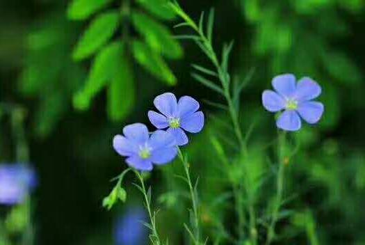 南京玄武区蓝花亚麻种子