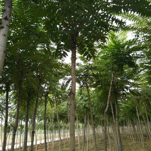 泰安岱岳区 出售7至10公分椿树杆直冒圆