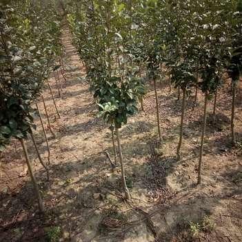 藤牧1号苹果树苗  高产苹果树品种苗