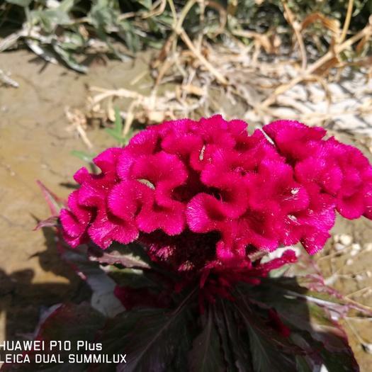 酒泉肃州区鸡冠花种子