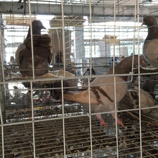 玉林陸川縣銀羽王鴿 400克以下