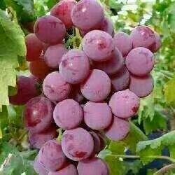 重庆醉金香葡萄 1-1.5斤 5%以下 1次果