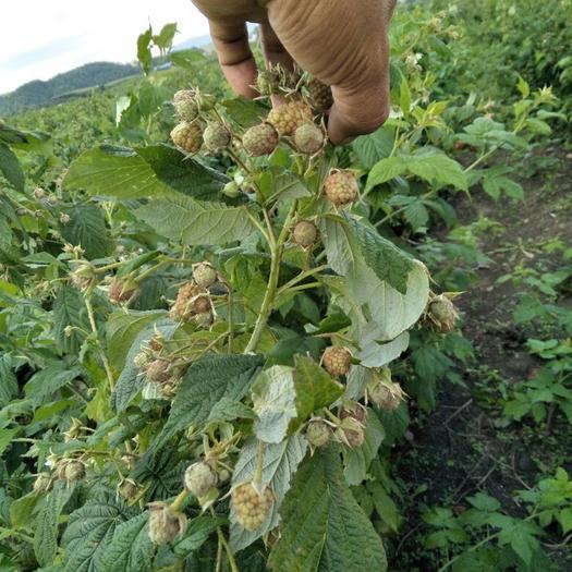 哈尔滨尚志市覆盆子种苗 覆盆子苗 南北方可种植,大量想谈