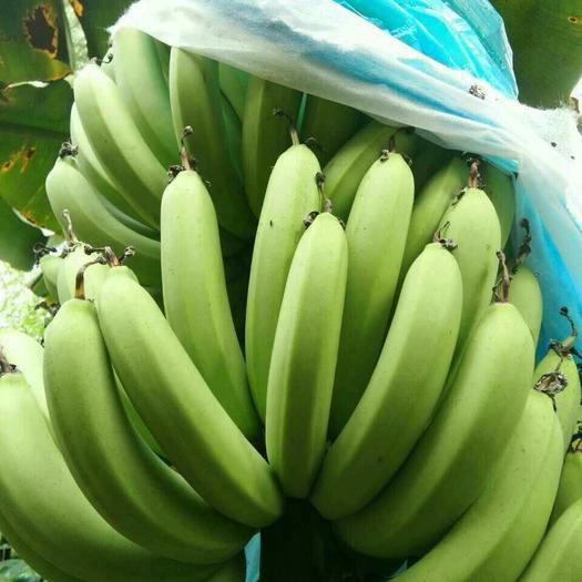 遂溪县广东香蕉1号