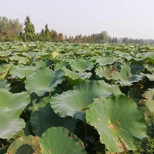 益阳洞庭湖藕 7-9cm 25~30cm