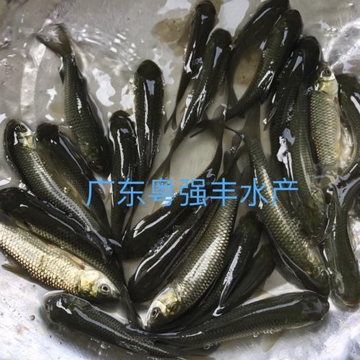 廣州草魚苗