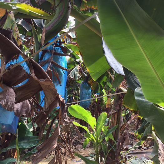 南宁台湾芭蕉