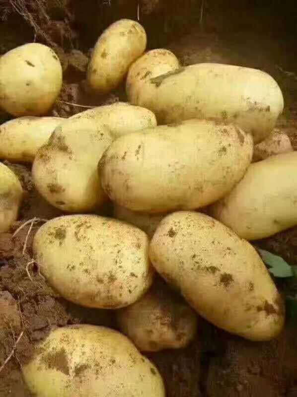 尤金885土豆 5两以上