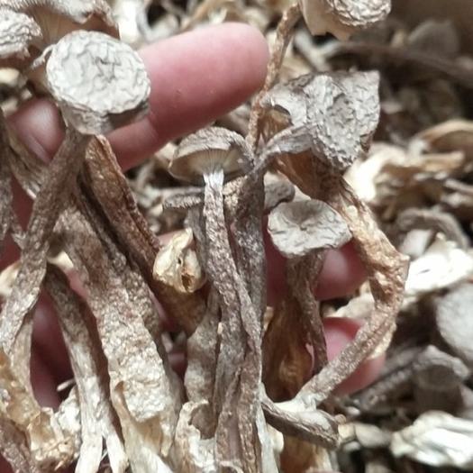 长沙长沙县鹿茸菇 人工种植 袋装 干货