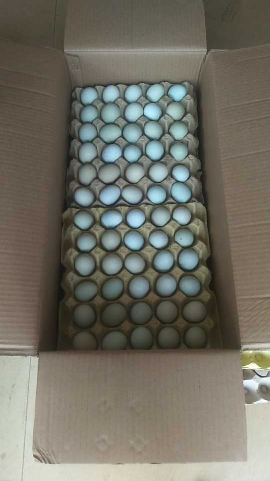 绿壳鸡蛋 箱装 食用