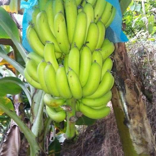 文山麻栗坡县河口香蕉