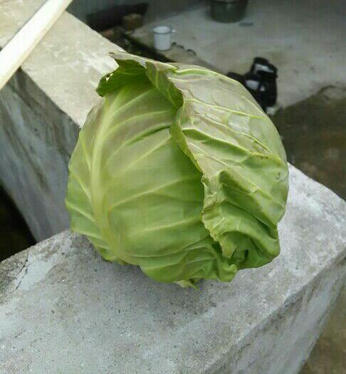 咸寧嘉魚縣旺旺綠園甘藍 1.0~1.5斤
