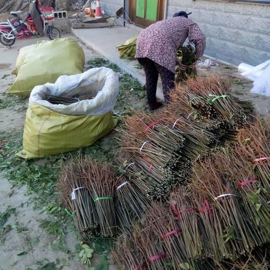泰安岱岳区红油香椿苗 0.50