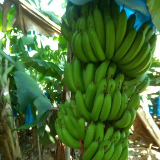 惠州广东香蕉1号