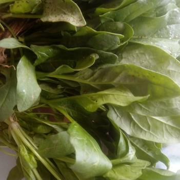大叶菠菜 20~25cm
