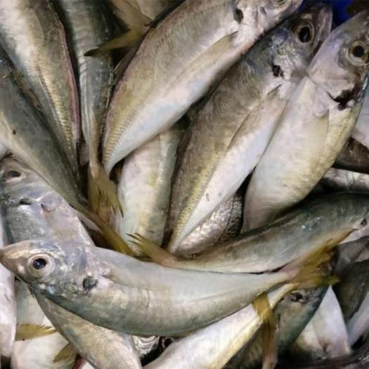 北海银海区渤海梭鱼