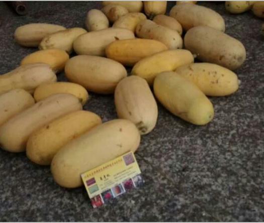 上饶鄱阳县杏瓜种子 种子