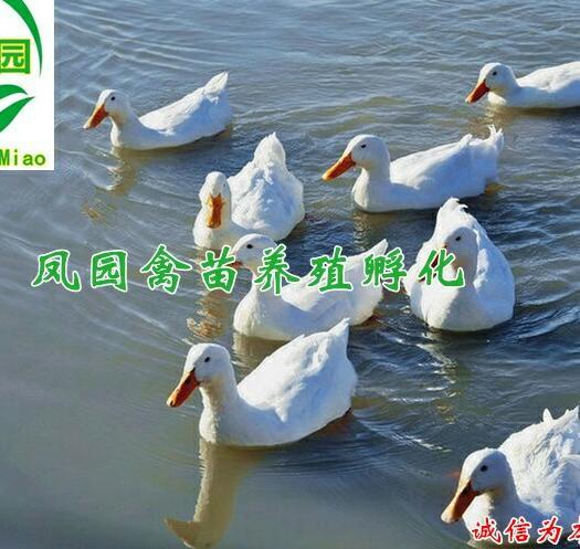 南宁兴宁区 樱桃谷肉鸭,白鸭苗,可长7到8斤