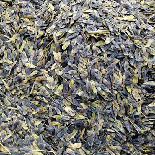 阜阳太和县板兰根种子
