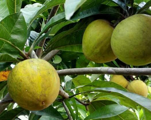 钦州灵山县树蛋果苗 带叶包种植技术指导