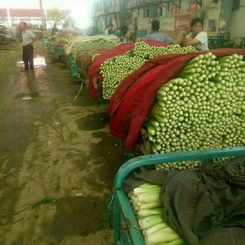 四季西芹 45~50cm 露天种植 0.5~1.0斤