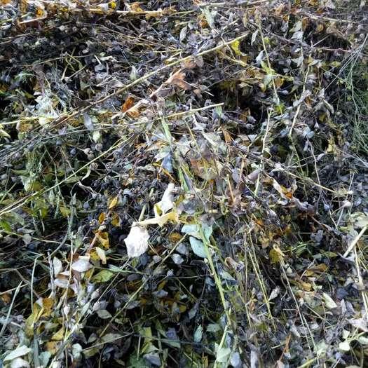 运城绛县 桔梗种子  当年产种子 发芽率高