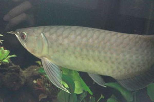 青龙鱼价格多少钱一斤?青龙鱼养殖前景分析