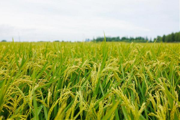 2020年水稻价格预测,种植水稻前景怎么样?
