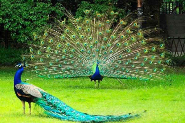 孔雀的养殖前景好吗?(附养殖技术)