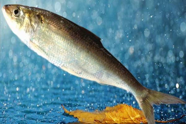 鲥鱼的价格多少钱一斤?鲥鱼养殖前景分析