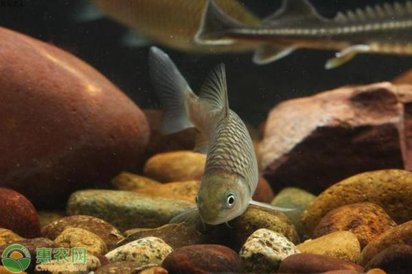 倒刺鲃鱼多少钱一斤?如何才能提高倒刺鲃鱼养殖效益?