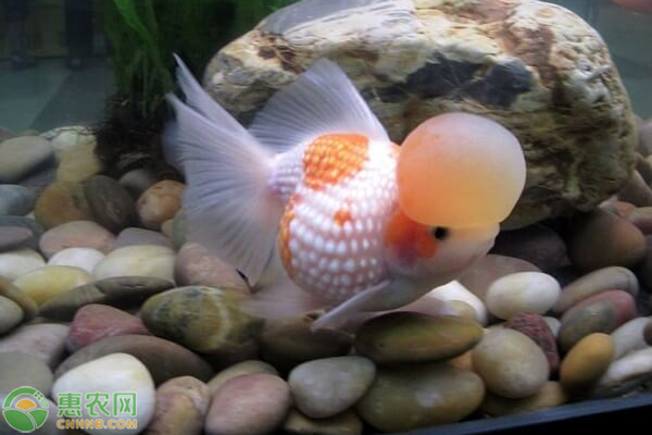 冷水鱼什么品种最好养?养好冷水鱼要注意什么?