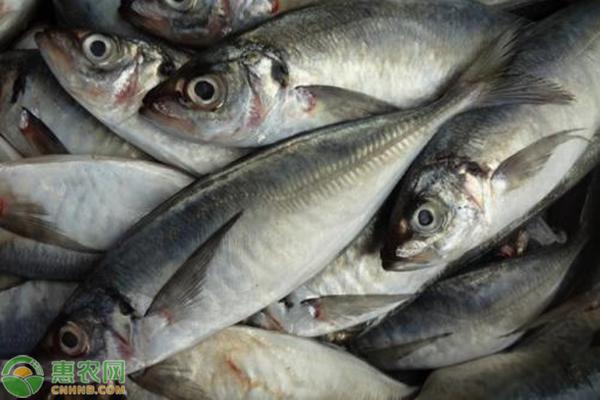 刺鲅鱼市场价多少钱一斤?刺鲅鱼与青鱼的区别