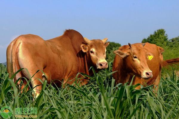 鲁西黄牛和西门塔尔牛哪个好?