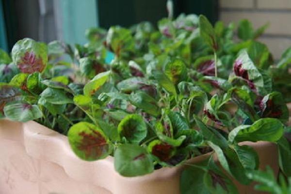 荠菜种子哪里有卖?荠菜种子采收后可以立即播种吗?