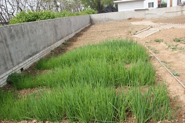 小葱怎么选种?育苗方法有哪些?