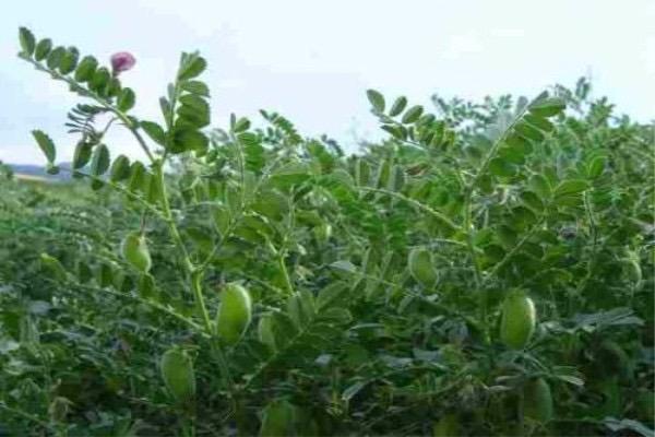 鹰嘴豆种子怎么挑选?育苗方法有哪些?