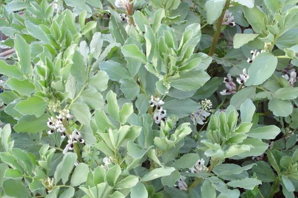 蚕豆种子怎么挑选?育苗方法有哪些?