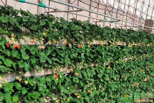 草莓种子怎么收取?育苗方法有哪些?