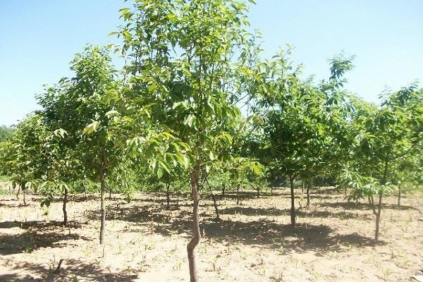 核桃树种子怎么挑选?育苗方法有哪些?