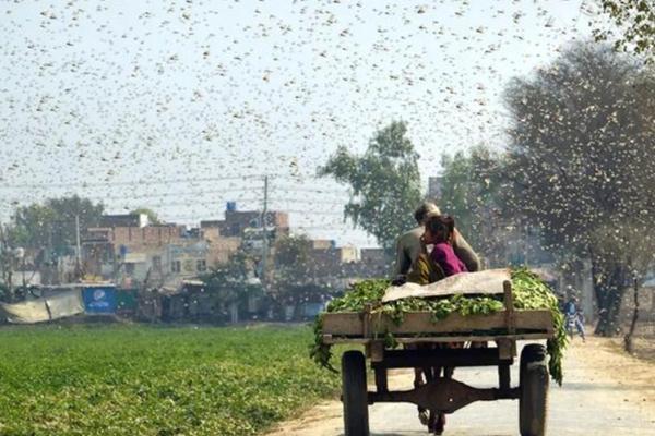 浙江10万鸭子出征巴基斯坦灭蝗的是什么品种?为什么用鸭子灭蝗?