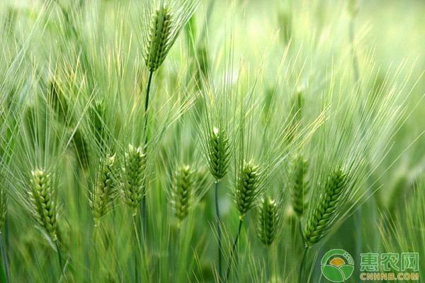 小麦怎么选种?小麦赤霉病如何防治?