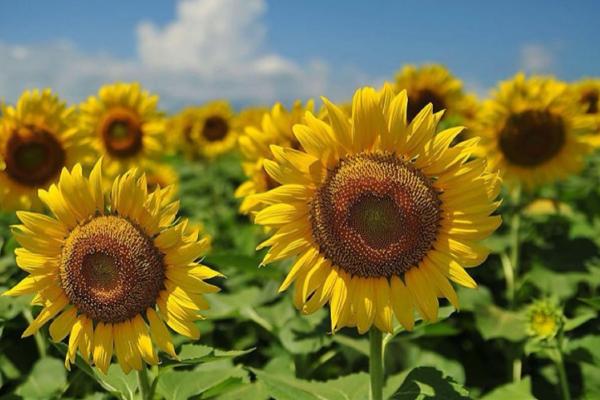 向日葵种子怎么挑选?育苗方法有哪些?