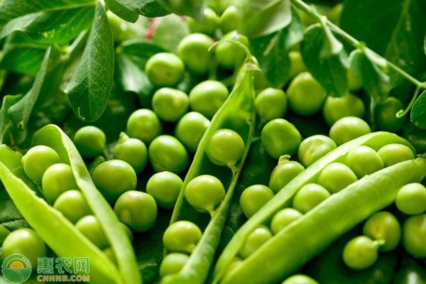 豌豆价格多少钱一斤?豌豆种植成本及利润分析