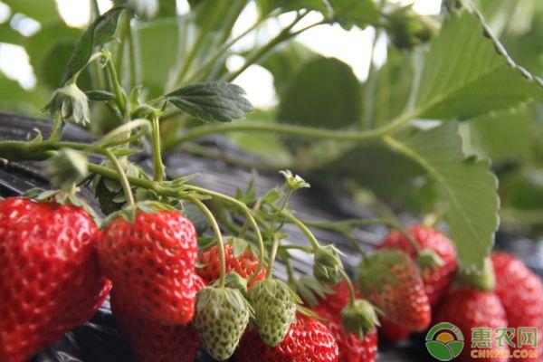2020年草莓价格多少钱一斤?影响草莓价格因素分析