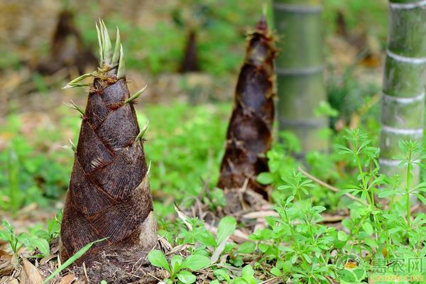 竹笋的营养价值及食用禁忌