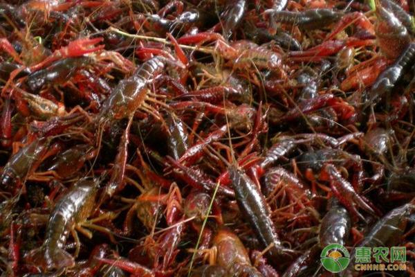 小龙虾价格多少钱一斤?2020年小龙虾养殖前景怎么样?
