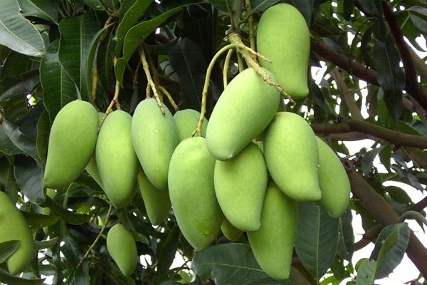 种植前景好的优质芒果品种排行
